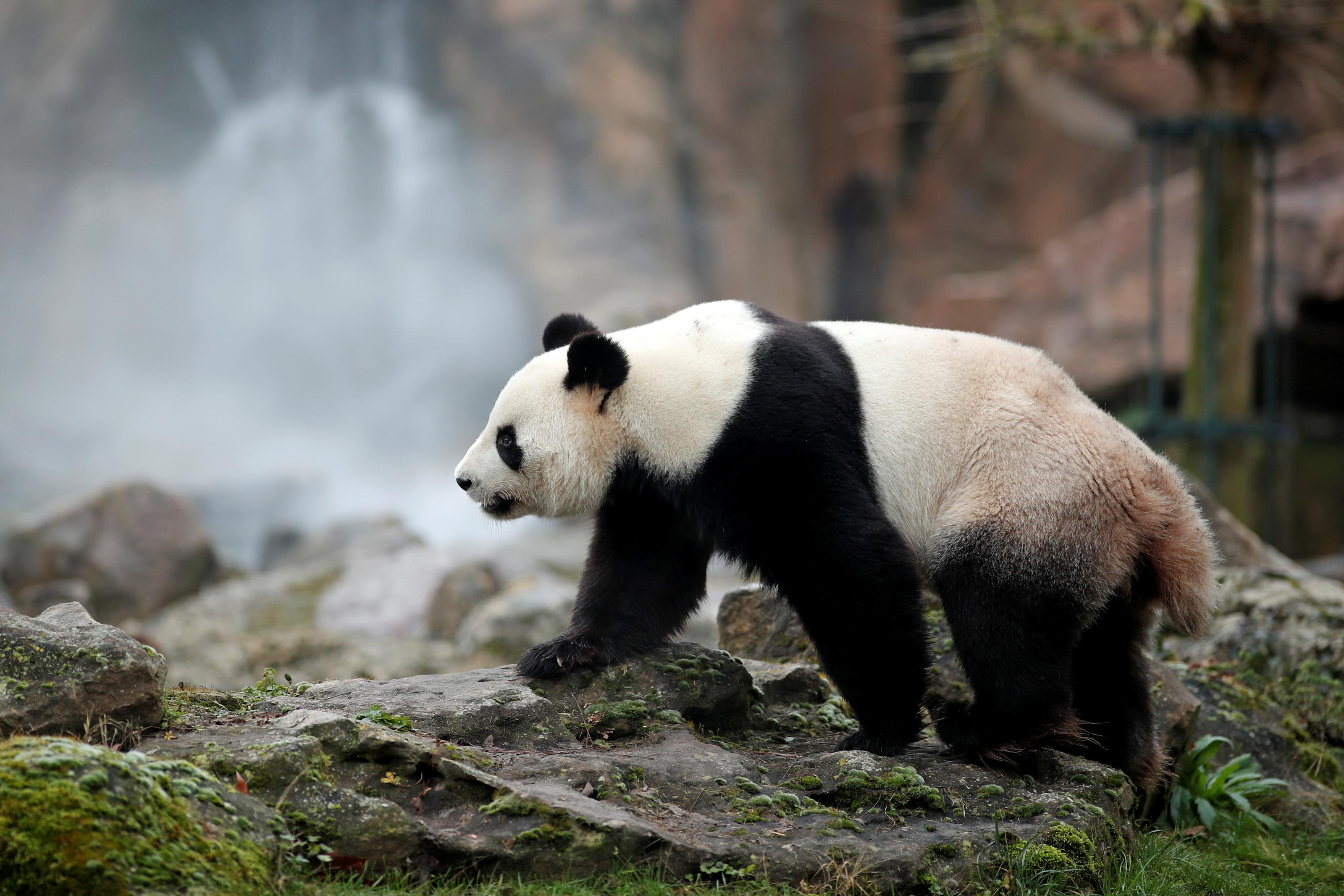 """SHANGHAI, Chine (Reuters) - Le parc zoologique de Beauval, qui accueille depuis 2012 deux pandas géants chinois, souhaite une prolongation de leur prêt par Pékin au-delà des dix ans initialement prévus, a déclaré dimanche le directeur du parc français, à la veille d'une visite d'Emmanuel Macron en Chine. """"J'ai fait cette demande au président (français) lorsqu'il est venu chez nous l'an dernier, il m'a promis d'en parler"""", a dit à des journalistes, Rodolphe Delord, membre de la délégation qui accompagnera le chef de l'Etat lors de ses trois jours de visite à Shanghai lundi et mardi puis Pékin mercredi. """"On veut les garder parce que c'est un symbole extrêmement fort pour Beauval, les pandas nous permettent de sensibiliser le public à la conservation de la biodiversité, ce qui est la mission première des parcs zoologiques"""", a-t-il expliqué. Depuis l'arrivée en janvier 2012 du mâle Yuan Zi (""""Rondouillard"""") et de la femelle Huan Huan (""""Joyeuse""""), le nombre de visiteurs dans le Zooparc de Beauval (Loir-et-Cher) est en outre passé de 600.000 à 1,6 million par an, """"ce qui a permis de développer le parc, d'en faire une destination à part entière"""", a-t-il ajouté. Un intérêt qui s'est encore accru le 4 août 2017 avec la naissance du bébé panda Yuan Meng (""""accomplissement d'un rêve"""") - dont Brigitte Macron est la marraine - mais qui, en tant que propriété du gouvernement chinois, repartira en Chine d'ici un an. Tous les signaux sont toutefois au vert pour la naissance d'autres bébés pandas au printemps, selon Rodolphe Delord. Au cours des dernières décennies, Pékin a prêté des dizaines de pandas - considérés comme des trésors nationaux en Chine où ils sont menacés par l'exploitation forestière et l'agriculture - aux Etats-Unis, à l'Espagne, à l'Autriche ou encore au Japon. Le prêt de Yuan Zi et de Huan Huan à la France avait à l'époque fait l'objet d'intenses tractations, débutées sous la présidence de Jacques Chirac, poursuivies puis achevées sous le quinquennat de Nicolas Sar"""