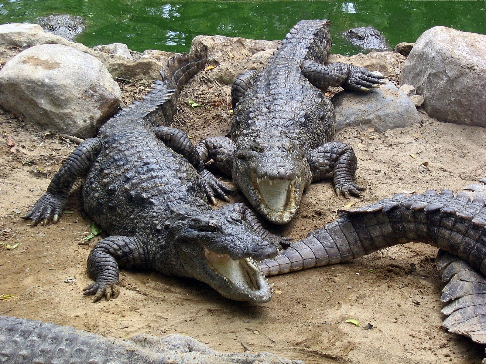 Cameroun : des crocodiles en divagation dévorent le bétail dans la ville de Garoua sous les regards impuissants de la population