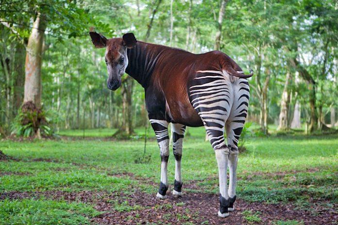 RDC : les experts de l'ONU dénoncent l'envahissement de la réserve de faune à Okapis par des Chinois à Ituri