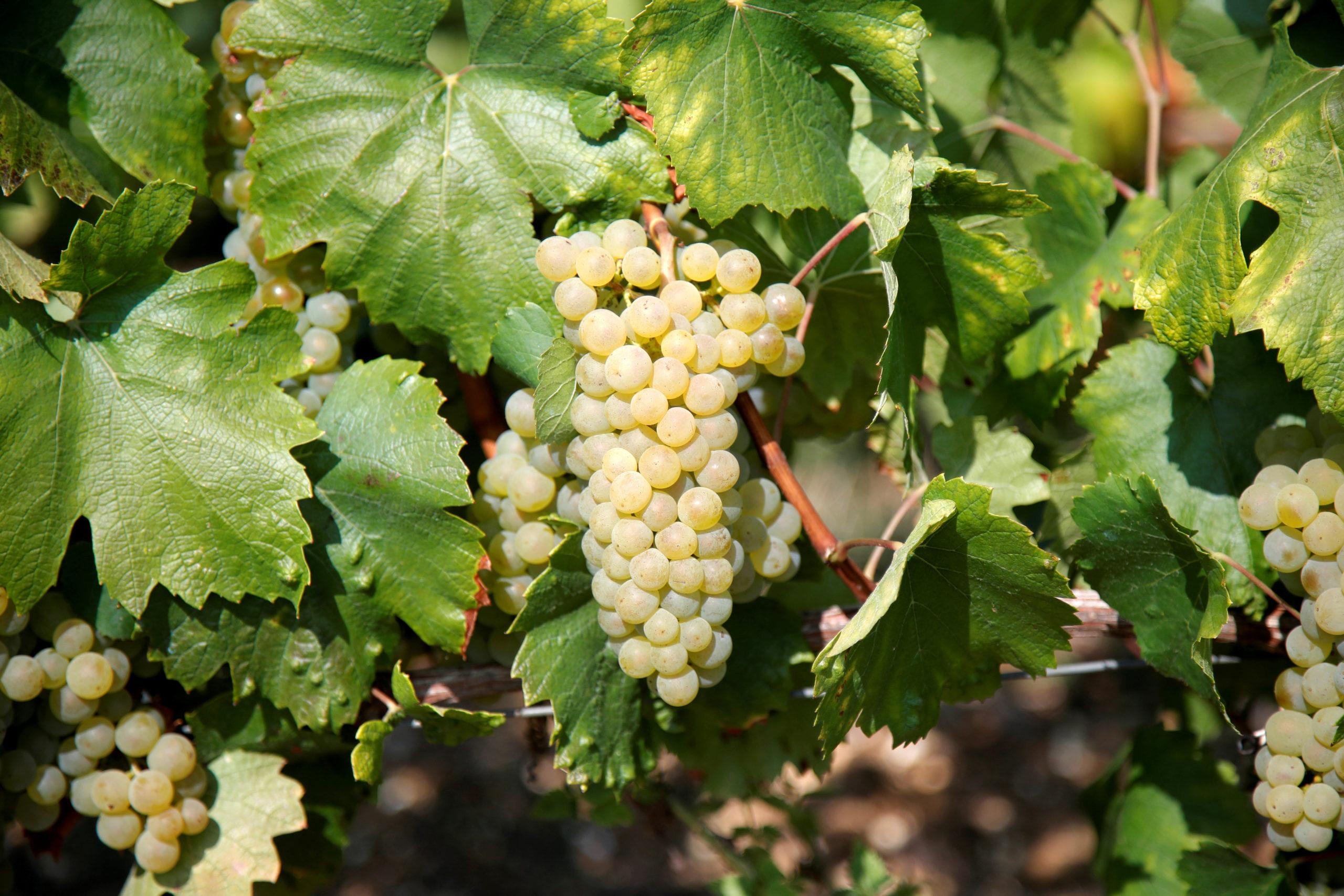 France: L'aide à la filière viticole portée à 250 millions d'euros