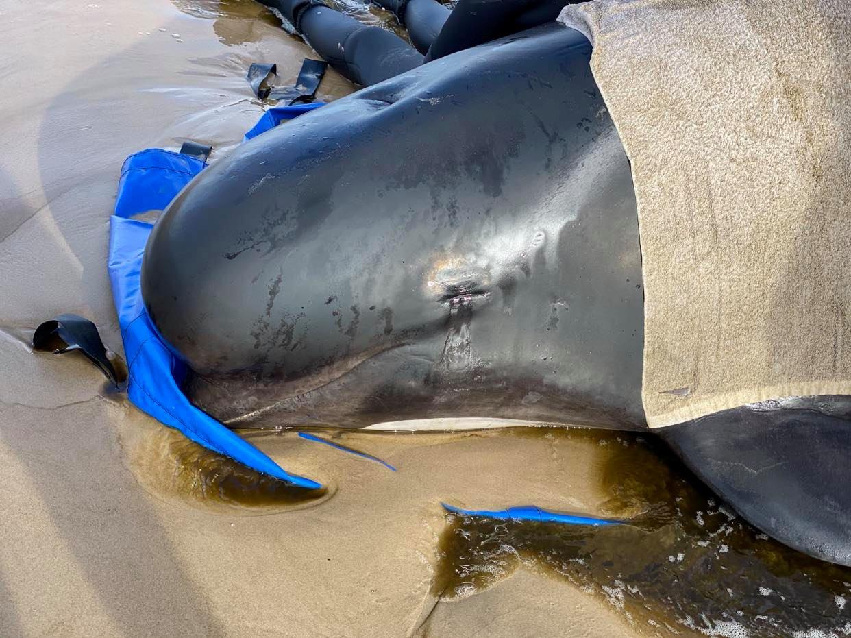 Près de 400 dauphins-pilotes meurent en s'échouant dans une baie australienne