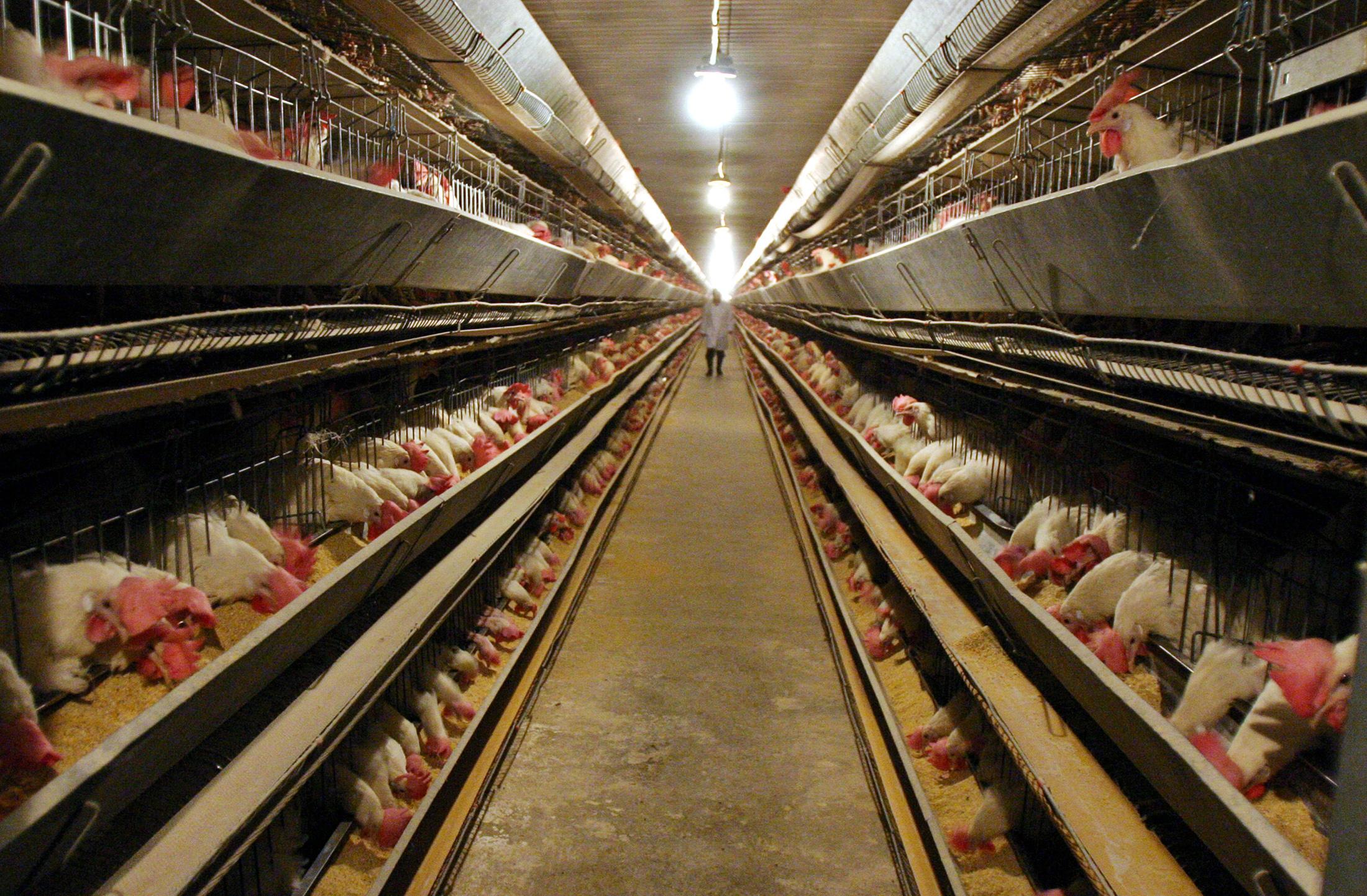 Risque élevé de grippe aviaire dans 45 départements