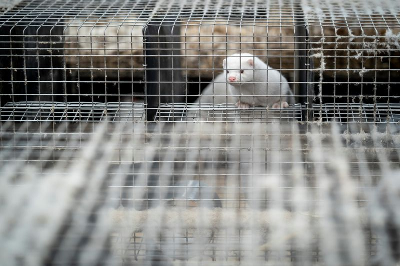 Un élevage de visons contaminé par le coronavirus en France